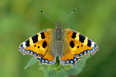 Small Tortoiseshell (Aglais urticae) newly emerged from pupa, England  -  William Osborn/ npl