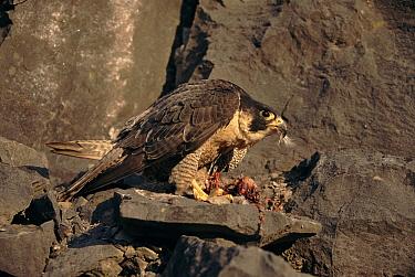 Peregrine Falcon (Falco peregrinus) feeding, England  -  Simon King/ npl