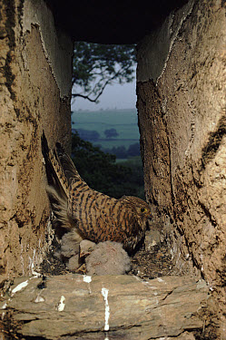 Eurasian Kestrel (Falco tinnunculus) female with young at nest in barn, Devon, England  -  Andrew Cooper/ npl