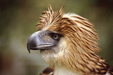 Monkey Eating Eagle (Pithecophaga jefferyi)  -  Neil Lucas/ npl