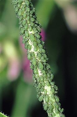 Rose Aphid (Macrosiphum rosae) group, England  -  Mike Wilkes/ npl