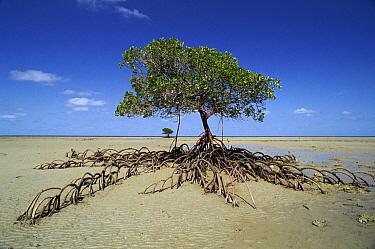 Mangrove (Rhizophoraceae) with exposed roots, Daintree National Park, Australia  -  Neil Lucas/ npl