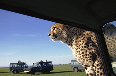Cheetah (Acinonyx jubatus) 10-month cub playing on filming vehicle, Masai Mara, Kenya  -  Simon King/ npl