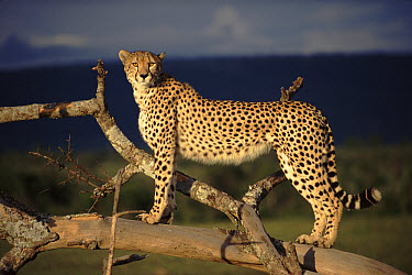 Cheetah (Acinonyx jubatus) female on lookout tree, Masai Mara, Kenya  -  Simon King/ npl