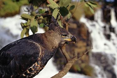 Crowned Eagle (Stephanoaetus coronatus), Nyanga, Zimbabwe  -  John Downer/ npl