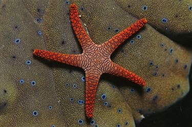Starfish (Fromia sp) underwater in the Indo- Pacific  -  Jurgen Freund/ npl
