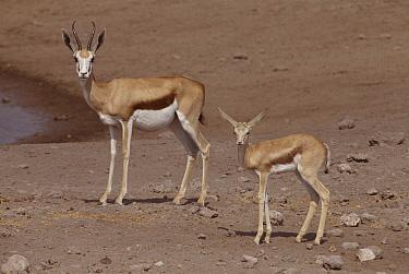 Springbok (Antidorcas marsupialis) with calf, Etosha National Park, Namibia  -  Ron O'Connor/ npl