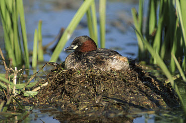 Little Grebe (Tachybaptus ruficollis) on nest incubating eggs, United Kingdom  -  William Osborn/ npl