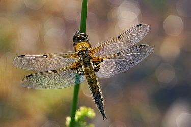 Four-spotted Chaser Dragonfly (Libellula quadrimaculata), Scotland  -  Duncan McEwan/ npl