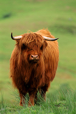 Domestic Cattle (Bos taurus), Highland breed, Scotland  -  Niall Benvie/ npl