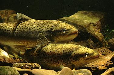 Brown Trout (Salmo trutta) pair in river, England  -  Tim Martin/ npl