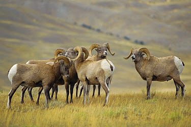 Bighorn Sheep (Ovis canadensis) 3-year old rams - mock rut, Yellowstone National Park, Wyoming  -  Niall Benvie/ npl