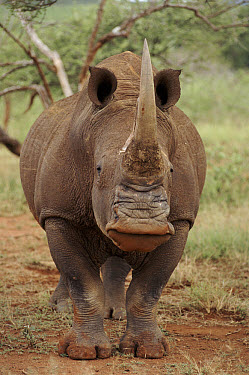 White Rhinoceros (Ceratotherium simum) head on, Kruger National Park, South Africa  -  Ron O'Connor/ npl