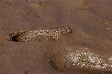 Silverline Mudskipper (Periophthalmus kalolo), Indus River, Pakistan  -  Vivek Menon/ npl