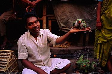 Moustached Parakeet (Psittacula alexandri) pair for sale, Calcutta, India  -  Vivek Menon/ npl