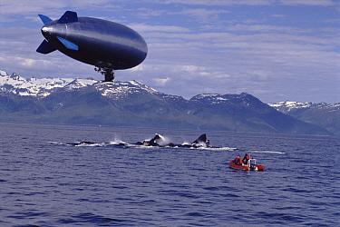 Humpback Whale (Megaptera novaeangliae) pod gulp feeding, filmed from above by remote controlled airship, Alaska  -  Jim Darling/ npl