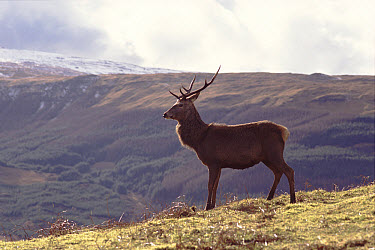 Red Deer (Cervus elaphus) stag, known as 'Rannoch' and habituated for filming Scotland  -  Simon King/ npl