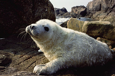Grey Seal (Halichoerus grypus) 2-week old pup Scilly Island, England  -  Andrew Cooper/ npl