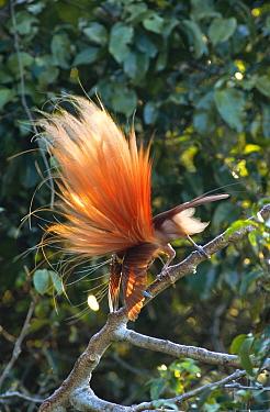 Raggiana Bird-of-paradise (Paradisaea raggiana) male displaying to female at lek, Varirata National Park, Papua New Guinea  -  Phil Savoie/ npl