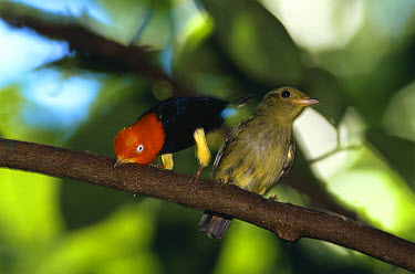 Red-capped Manakin (Pipra mentalis) courtship male (left) does 'Moonwalk' dance to attract female, Costa Rica  -  Phil Savoie/ npl