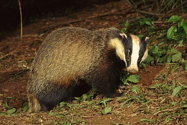 Eurasian Badger (Meles meles), Devon, England  -  Kevin J Keatley/ npl