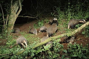 Eurasian Badger (Meles meles) family group foraging at night, Devon, United Kingdom  -  Kevin J Keatley/ npl
