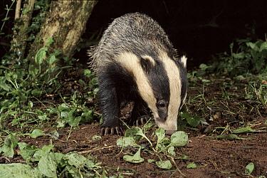 Eurasian Badger (Meles meles) young adult looking at slug, Devon, England  -  Kevin J Keatley/ npl