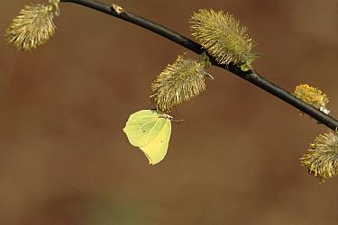 Brimstone (Gonepteryx rhamni) butterfly on Pussy Willow (Salix discolor) catkins, England  -  David Kjaer/ npl