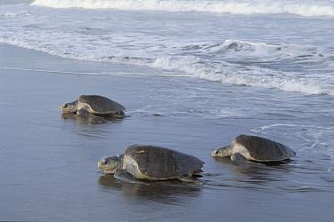 Olive Ridley Sea Turtle (Lepidochelys olivacea) trio come ashore to lay eggs, Costa Rica  -  Tim Martin/ npl