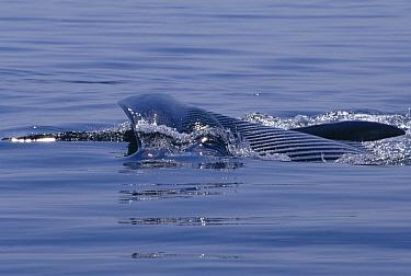 Fin Whale (Balaenoptera physalus) lunge feeding Cape Cod, Massachusetts  -  Tom Walmsley/ npl