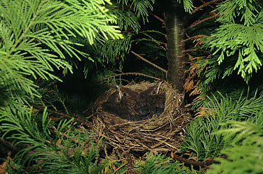 Eurasian Blackbird (Turdus merula) chicks in nest, England  -  Kevin J Keatley/ npl