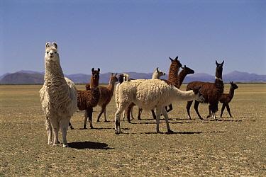 Llama (Llama glama) herd, Laguna de Los Pozuelos National Park, Andes, NW Argentina  -  Ross Couper-Johnston/ npl