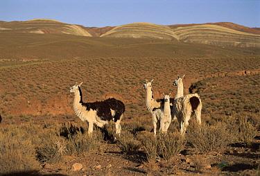 Llama (Lama glama) group, Andes, Laguna de Los Pozuelos National Park, northwest Argentina  -  Ross Couper-Johnston/ npl