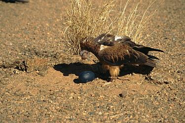 Black-breasted Buzzard Kite (Hamirostra melanosternon) breaking Emu egg with rock, Australia  -  Miles Barton/ npl