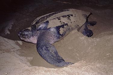 Leatherback Sea Turtle (Dermochelys coriacea) onshore to lay eggs, Pacific Coast, Costa Rica  -  Tim Martin/ npl