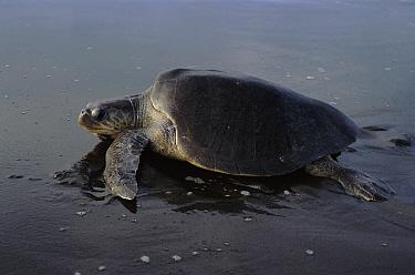 Olive Ridley Sea Turtle (Lepidochelys olivacea), Pacific coast, Costa Rica  -  Tim Martin/ npl
