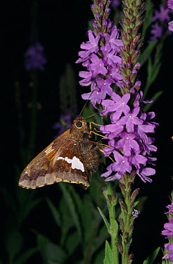 Silver-spotted Skipper (Hesperia comma) on Hoary Vervain (Verbena stricta), North America  -  Larry Michael/ npl