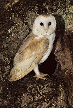 Barn Owl (Tyto alba) in Oak Tree, Barn Owl Trust, Devon, England  -  Kevin J Keatley/ npl