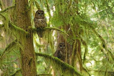 Spotted Owl (Strix occidentalis) pair in old-growth temperate rainforest, southwest Oregon  -  Tom Mangelsen/ npl