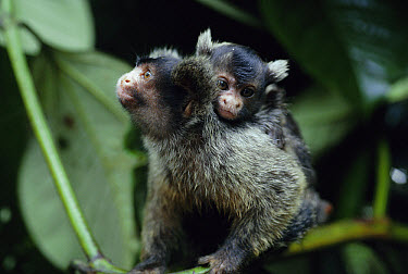 Maues Marmoset (Callithrix mauesi) male carrying baby, they share in childcare, Brazil  -  Nick Gordon/ npl