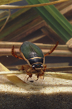 Great Diving Beetle (Dytiscus marginalis) male underwater, England  -  Geoff Dore/ npl