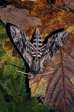 Convolvulus Hawk-moth (Agrius convolvuli) migrant, England  -  Paul Hobson/ npl