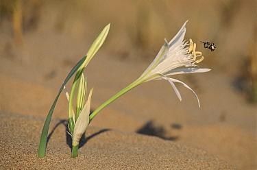 Sea Daffodil (Pancratium maritimum) and Honey Bee on coastal dunes, Spain  -  Jose B. Ruiz/ npl