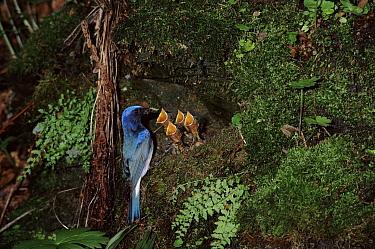 Blue-and-white Flycatcher (Ficedula cyanomelana) male at nest feeding chicks, Ussuriland, Primorsky, Russia  -  Yuri Shibnev/ npl