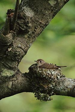 Asian Brown Flycatcher (Muscicapa dauurica) female on nest, Ussuriland, Primorsky, Russia  -  Yuri Shibnev/ npl