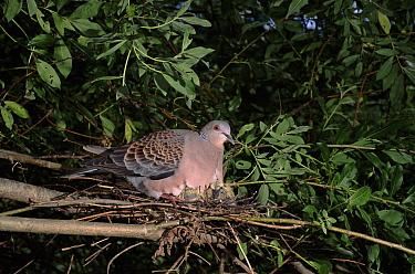 Oriental Turtle Dove (Streptopelia orientalis) at nest, Ussuriland, Primorskiy, Russia  -  Yuri Shibnev/ npl
