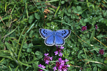 Large Blue Butterfly (Maculinea arion), Somerset, England  -  David Tipling/ npl