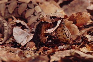 Gaboon Viper (Bitis gabonica) eating mouse, Epulu Ituri, Democratic Republic of the Congo  -  Jabruson/ npl