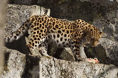 Amur Leopard (Panthera pardus orientalis) with kill near den, Kedrovapad Nature Reserve, Ussuriland, South Primorsky, Russia  -  Yuri Shibnev/ npl