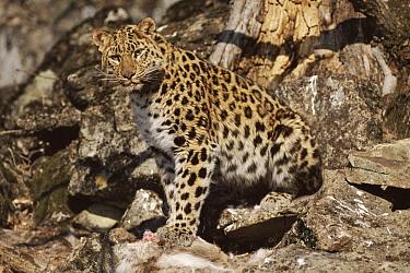 Amur Leopard (Panthera pardus orientalis) tagged wild animal with kill near den, Kedrovapad Nature Reserve, Ussuriland, Primorsky, Russia  -  Yuri Shibnev/ npl